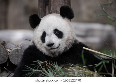 The giant panda, also known as panda bear or simply panda, is a bear native to south central China. It is easily recognized by the large, distinctive black patches around its eyes, over the ears, and