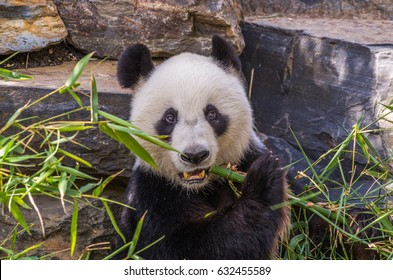 The Giant Panda is a large distinctive bear that is native to south central China