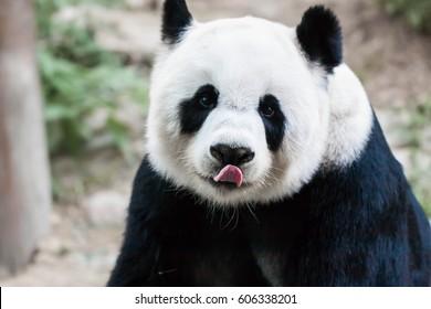 Giant panda licking