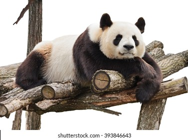 Giant panda looking at camera and lying on wood flooring isolated on white background.