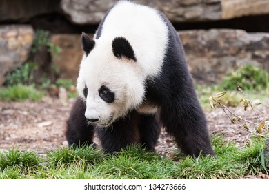 A giant panda looks for food in  a rocky landscape