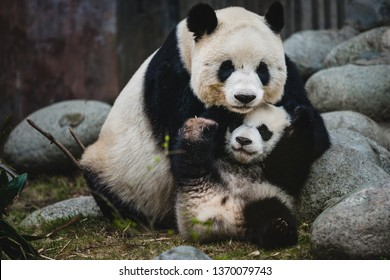 A giant panda mother and her cub in Chengdu, China.
