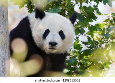 Giant panda on a tree