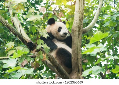 Giant panda over the tree.