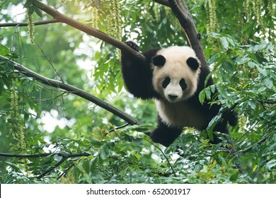 giant panda over tree in chengdu wild zoo