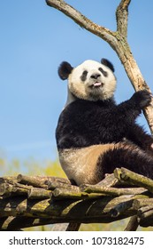 Giant panda sitting on a wooden platform in a wildlife park in the north west of Belgium