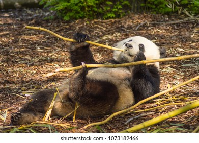 Giant Panda sleeping on the meadow busy eating bamboo chunks in an animal park in the north west of Belgium