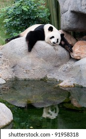 a giant panda sleeping on rock near water