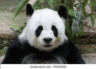 Giant Panda in Thailand