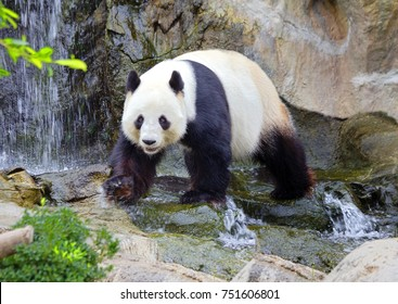 The giant Panda (the white Panda) The giant Panda, or bamboo bear is a mammal of the bear family with a distinctive black and white coloring wool.