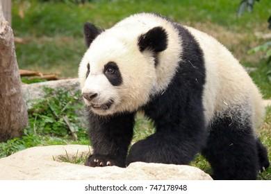 The giant panda walking in the Macau Giant Panda Pavilion, China.