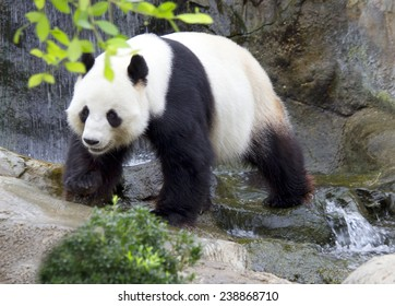 The giant Panda (white Panda). The giant Panda, or bamboo bear is a mammal of the family bear with a kind of black-and-white coloration of the coat.