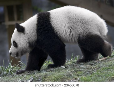 Giant Panda at a zoo