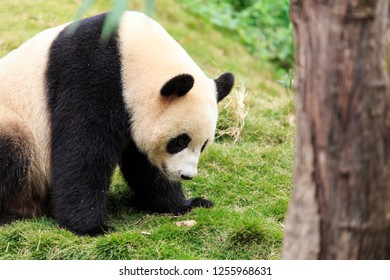 Giant pandas are a national treasure of China