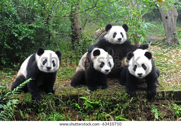 Giant pandas posing for camera