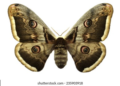 Giant Peacock Moth isolated