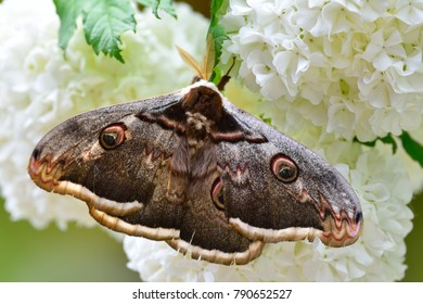 Large Moth Images Stock Photos Vectors Shutterstock
