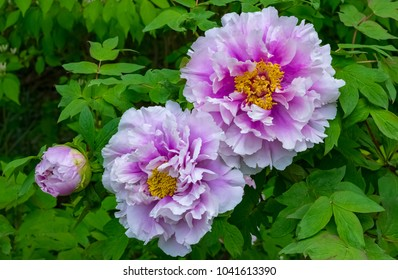 Giant peony flowers, blooming in Spring. nature photography.