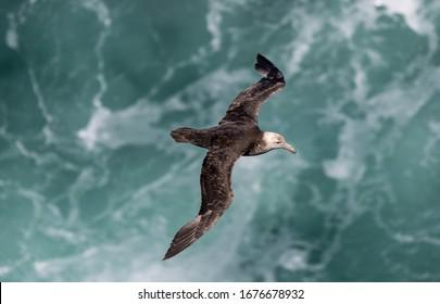 "Giant petrels "" Macronectes giganteus "" soar above the waves in the antarctic."