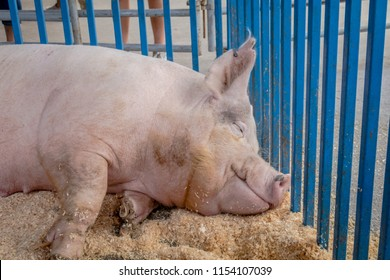 Giant pig having sweet dreams and smiling in pen at the county fair