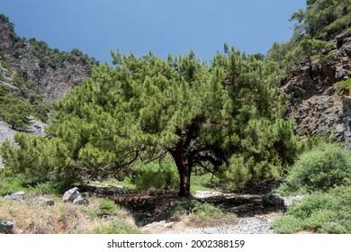 Giant pine in the Aradena gorges, Sfakia, southern Crete