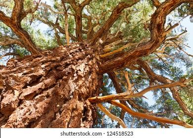 Giant Pine Tree in the Sierra Nevada, California, USA