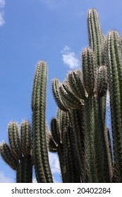 Giant pipe Cactus Giant Club Cactus is called Cadushi  in Curacao, Aruba and Bonaire