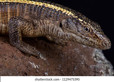 The giant plated lizard (Matobosaurus validus) is the largest member in the Gerrhosauridae family. They are native to Southern Africa.
