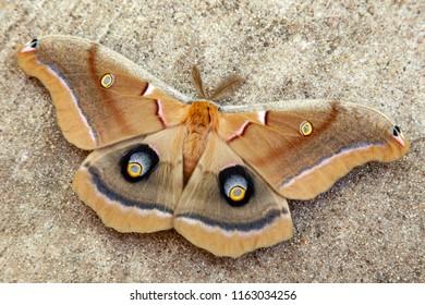 Giant Polyphemus Moth