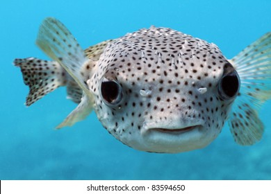 Giant Porcupine Puffer fish
