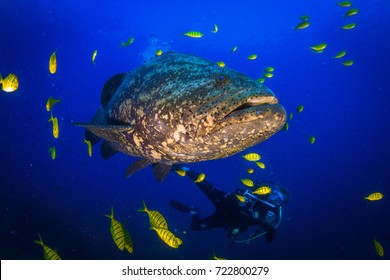 Giant potatoe grouper close to the buoy. Underwater life in Pacific, around Coiba island, Panama, Central America.
