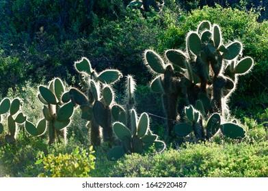 Giant Prickly Pear cactus, Dragon Hill, Santa Cruz Island, Galapagos, Ecuador, Unesco World Heritage Site