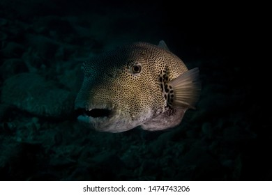 Giant puffer fish in a cave