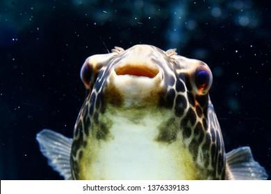 Giant puffer, Giant freshwater puffer, Mbu puffer (Tetraodon mbu)