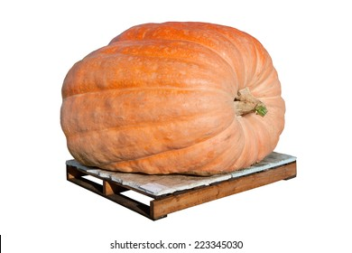 A giant pumpkin isolated on white and sitting on a wooden pallet.