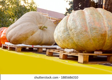 """Giant pumpkins display on stage at traditional holiday competition. """"Pumpkin days"""" (""""Dani ludaje """") in Kikinda city from Vojvodina, Serbia."""