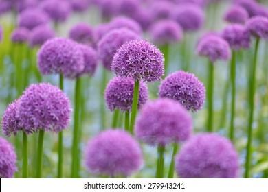 giant purple allium flower field with tiny blue flowers