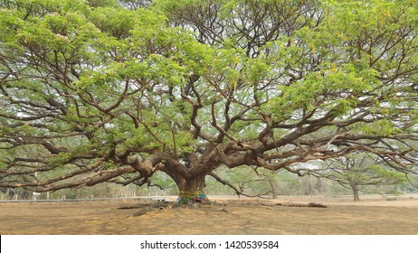Giant Raintree found in Kanchanaburi Thailand