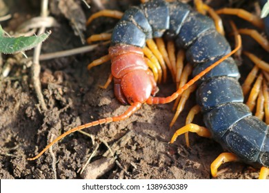 Giant Red-headed North American Centipede (Scolopendra heros)