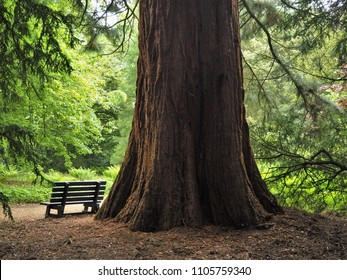 Giant redwood tree trunk and a wooden bench in a park