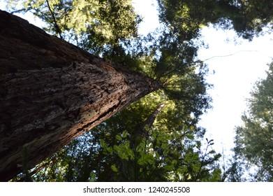 Giant Redwood Trees Muir Woods