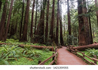 Giant redwood trees in the Muir Woods National Monument, California, United States