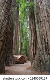 Giant Redwood Trees on Stout Grove Trail, Jedediah Smith Redwoods State Park, CA