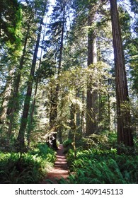 Giant redwood trees, towering over a lush forest, Redwood National park, California.