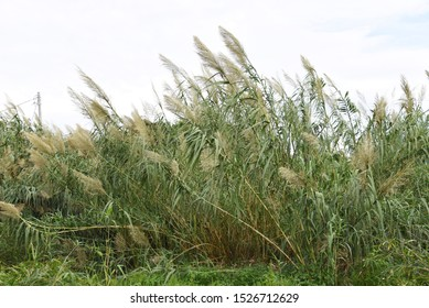 Giant reed (Arundo donax) / Giant reed (Arundo donax) is a perennial of gramineae that lives near the coast, and the stem is the material of the reed part such as the clarinet.