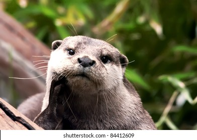 giant river otter looking at camera, costa rica