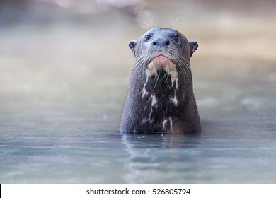 Giant river otter in the nature habitat, wild brasil, brasilian wildlife, pantanal, watter animal, very inteligent creature, fishing, fish