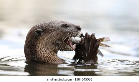 Giant River Otter, Pteronura brasiliensis, eating fish, Matto Grosso, Pantanal, Brazil, South America