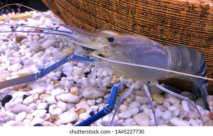 Giant river prawn or giant freshwater prawn, is a commercially important species of palaemonid freshwater prawn.