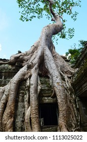 The giant roots of a tree have spread over a temple, or wat, in Cambodia. The tree is covered in green eaves, and behind is a blue sky. The scene is deserted.